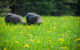 Dandelions, Lambs and Grazing~Transitioning to Pasture